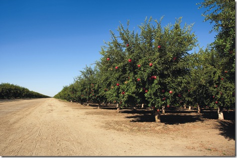 row_of_pomegranate_trees
