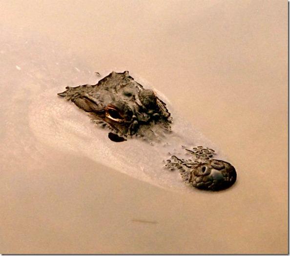 American_Alligator_in_Water